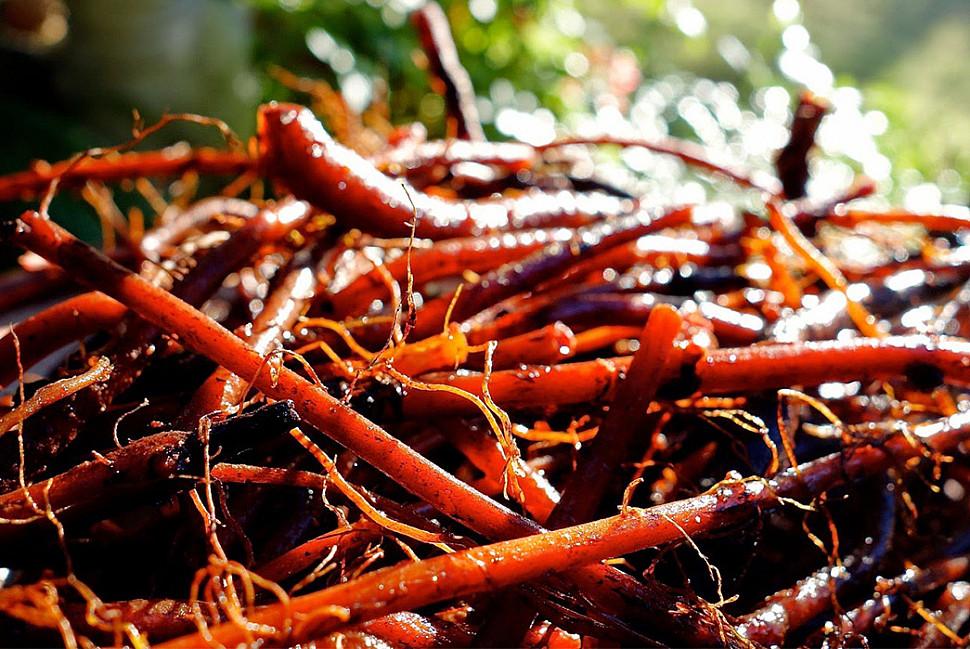Свежий корень марены как традиционный источник красного красителя. Изображение взято с Pinterest.